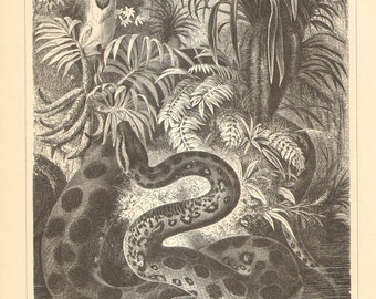 1905 Original Antique Engraving of the Green Anaconda