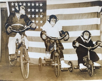 Chimpanzees Riding Bicycles and TRICYCLES with AMERICAN FLAG Back Drop