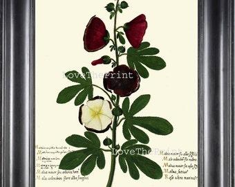 ITALIAN VEGETABLE Garden Aldrovandi  Art Print 41 Botanical Antique Beautiful Hollyhock Flower Plant Home Decoration