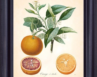 POITEAU 8x10 Botanical Art Print ORANGE de Malte French Citrus Antique Fruit Print Vintage Plate Chart Kitchen Wall Decor to Frame FV1404
