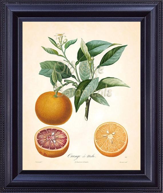 POITEAU 8x10 Botanical Art Print ORANGE De Malte French Citrus