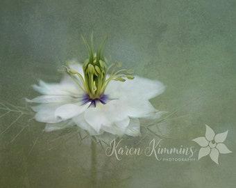 Love in a mist Fine art print. Flower photo print. Fine art photography. Painterly nature print. Garden photo
