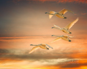 Trumpeter Swans in Flight with Sunset Background, Interior Design Downloads
