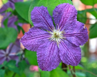 Clematis Photograph - Purple Flower Print - Nature Photography