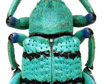 Real Turquoise Weevil Beetle, Eupholus schoenherri petiti