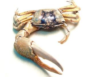 Real Framed Uta Forcipata Fiddler Crab  A1303