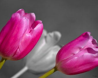 Flower Photography Tulips Tulip Home Decor Wall Black And White With Color Accents Bright Pink Splash Prints