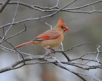 Bird Photography, Cardinal Photograph, Red and Gray Print, Animal Photography, Female Cardinal Wall Art, Nature Picture, Cute Bird Decor