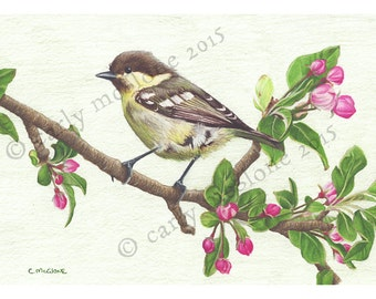 Juvenile Blue Tit Bird on Apple Blossom Art Print