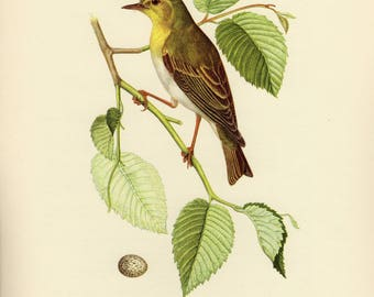 Vintage lithograph of the wood warbler from 1953