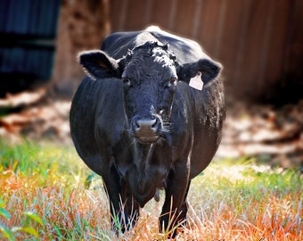 Cow Photography,Dexter Cow Photo,Farm Animal,Rustic,Black Cow,Pregnant Cow,Western Photo,Agriculture,Farmhouse wall art,Animal Photography