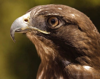 Red Tailed Hawk image download
