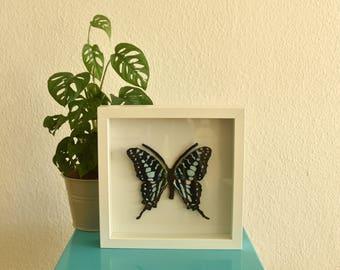 Diervriendelijk - ingelijste Graphium antheus. Handgemaakte vlinder voor in je interieur