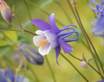 Columbine - Nature Flower Photograph - Wall Decor - Home Decor - Flower Art - Columbine Photograph - Purple Lavender - Nature Photography