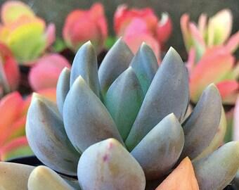 Echeveria Tolimanensis/Succulent plant/succulents/indoor plant/Succulent garden/succulent arrangement/live plants/cactus
