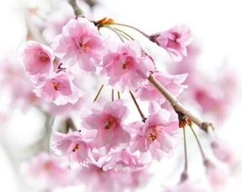 Cherry Blossoms no. 2