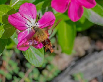 Hummingbird Moth Fine Art Photo Print - Insect Photos - Hummingbird Moths -Wildlife Photography -Nature Photography -Gifts for Nature Lovers