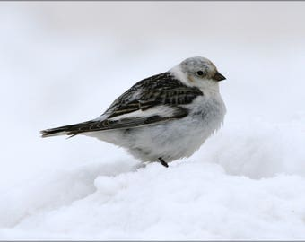 Poster, Many Sizes Available; Snow Bunting Bird