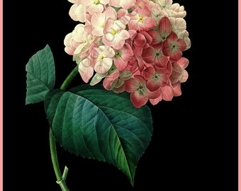 pink hortensia on black background illustration digital download