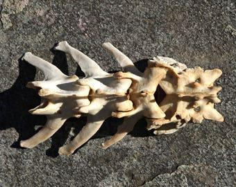 Natural Animal Spine - Real Animal Bones - Creepy Voodoo Supplies - Macabre Art Project Supply - Taxidermy - Terrarium Decor - Curiosities