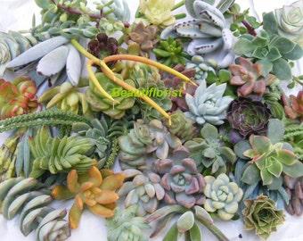 35/50 Assorted Succulent Cuttings