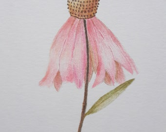 Coneflower, original color pencil illustration