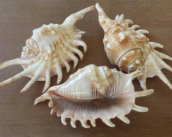 Sea Shell, Shells, Conch Shell, Spider Conch Shell, Beach Decor, Craft Shells, Beach House Decor, Coastal Decor, Millipede Spider Conch