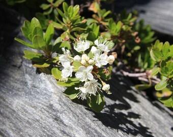 Greenland Moss Essential Oil (Ledum groenlandicum) Labrador Tea Organic Greenland Moss Ledum Essential Oil