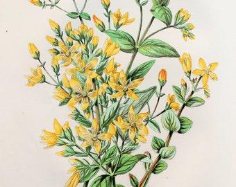 Anne Pratt Antique Botanical Print - St. John's Wort, Wild Flowers (52)
