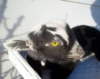 Taxidermy Black & White Dwarf Miniature Goat Kid. Black Jack.