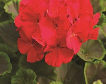 15 Seeds Geranium Apache Red Geranium Seeds