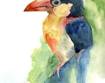 Nosey Beak - original watercolor art of a curl crested aracari toucan bird rare strange bird whisperer watercolor wildlife painting