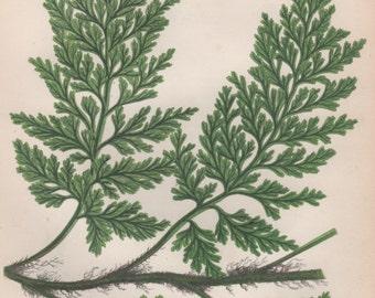 1855 Fern Botanical Print, Vintage Lithograph, Anne Pratt Botany, Flora Illustration, European Bristle Fern, Trichomanes radicans