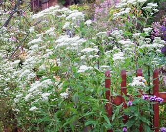 Ageratina 'Jocius' Variegate' (Snakeroot) [25 Seeds]