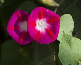Ipomea, Morning Glory Scarlet O'hara 20 Seeds