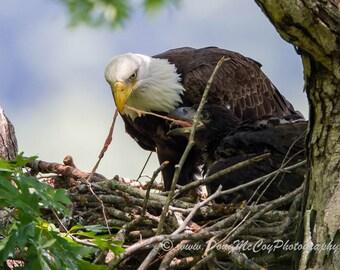 Bald Eagle and Eaglet at Lake Cumberland, Ky #7634