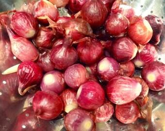 Red Burgundy Onions, Heirloom - 1/2 gram gardening seeds