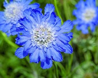 25 Scabiosa caucasica Seeds, Caucasian pincushion flower, pincushion flower , Caucasian scabious,