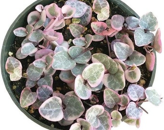 String of Hearts Succulent VARIEGATED Plant Ceropegia Woodii Pink Exotic Succulent Rooted Rare Plant Live Plant String of Hearts Plant