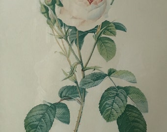 Paris etchings, Rose by Redoute, Rosa Muscosa - Vintage glamour!