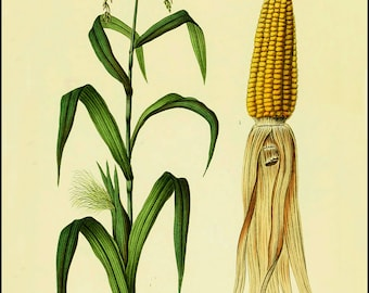 Farm house poster - Corn stalk - Corn ear - Farmhouse decor -  Vintage Kitchen decor - Farm vegetables - Kitchen Art - Veggie art - Farm art