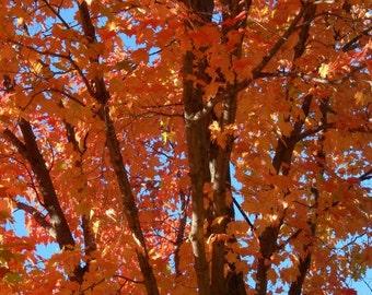 photo card  red autumn tree