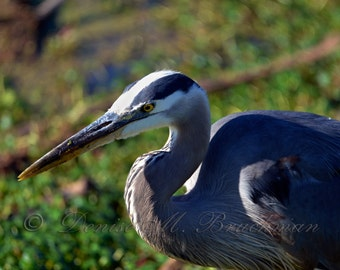 Great Blue Heron Print - Blue Heron Photo - Gray Bird Photography - Heron Wall Art - Bird Lover Gifts
