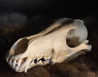 Real Coyote Skull