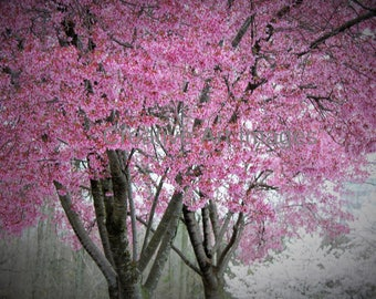 Pink Cherry Blossoms, Pink Cherry Blossom Tree, Pink Cherry Blossom Tree Photograph, Pink Cherry Blossom Tree Canvas Print #28