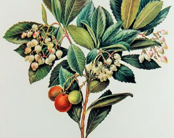Vintage Botanical Print by C. F. Newall: Strawberry Tree (Leaves, flowers and fruits), Colour Print