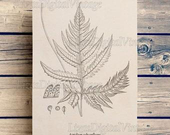 Instant download, Art print vintage, Ferns, Antique, Large digital print, Botanical, Illustrations, Wall art, Art print, Home print, JPG PNG