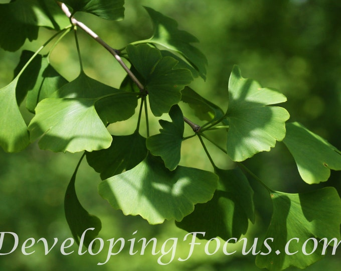 Gingko Tree Leaves Photography Card or Print, Gingko Photography Art, Green Gingko Leaves Photography Print, Gingko Tree Art Print Download