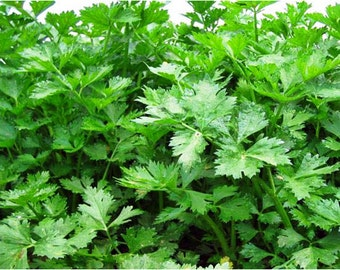 Nan Ling Cutting Leaf Celery Seeds Non-GMO 400+ Seeds Naturally Grown Open Pollinated Heirloom Gardening