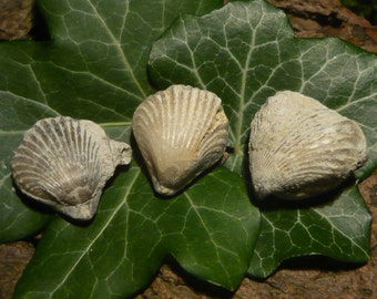 Set of Brachiopod Fossils (Kallirhynchia), 13g total